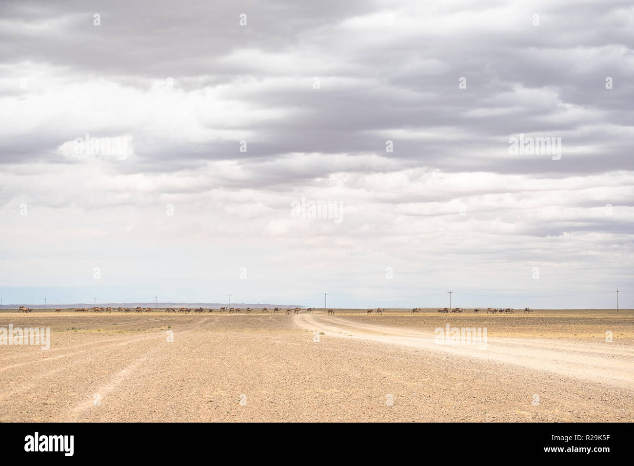 Faraway view of endless herd of Bactrian camels on the move in the vast Gobi desert landscape. - Stock Image