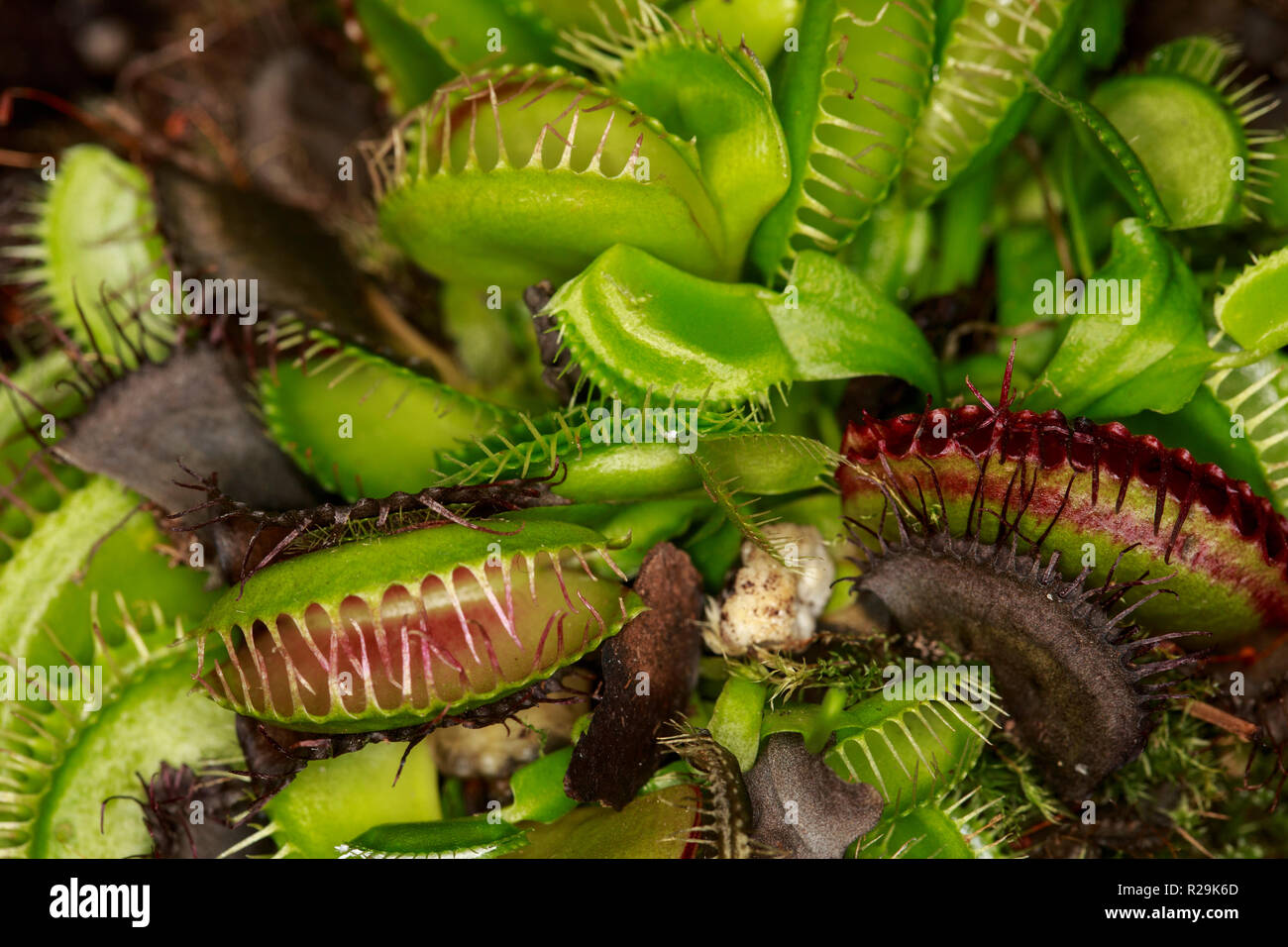 Venus fly trap (Dionaea muscipula) - Stock Image