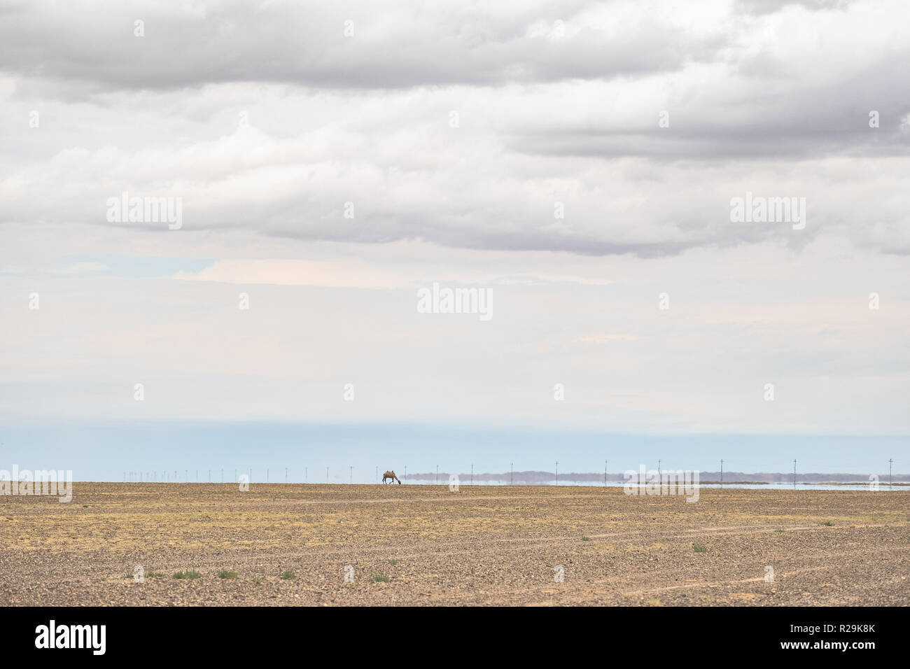 An inferior mirage on Gobi desert in summer with a solo Bactrian camel seen from a distance. - Stock Image
