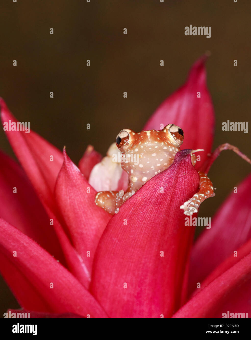 Cinnamon frog (Nyctixalus pictus) on bromeliad Stock Photo