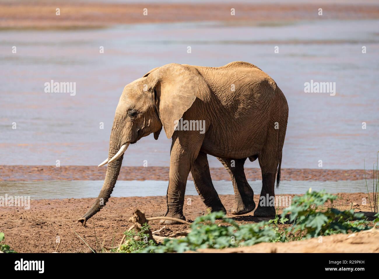 Immature African elephants (Loxodonta) in Kenya. - Stock Image