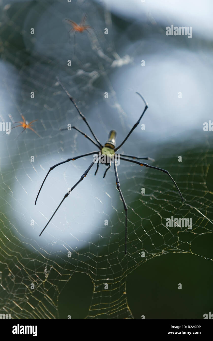Giant golden orb weaver a species of golden orb-web spider. Commonly found in forests and gardens. It is the largest of  the  the orb-weaving spiders. Stock Photo