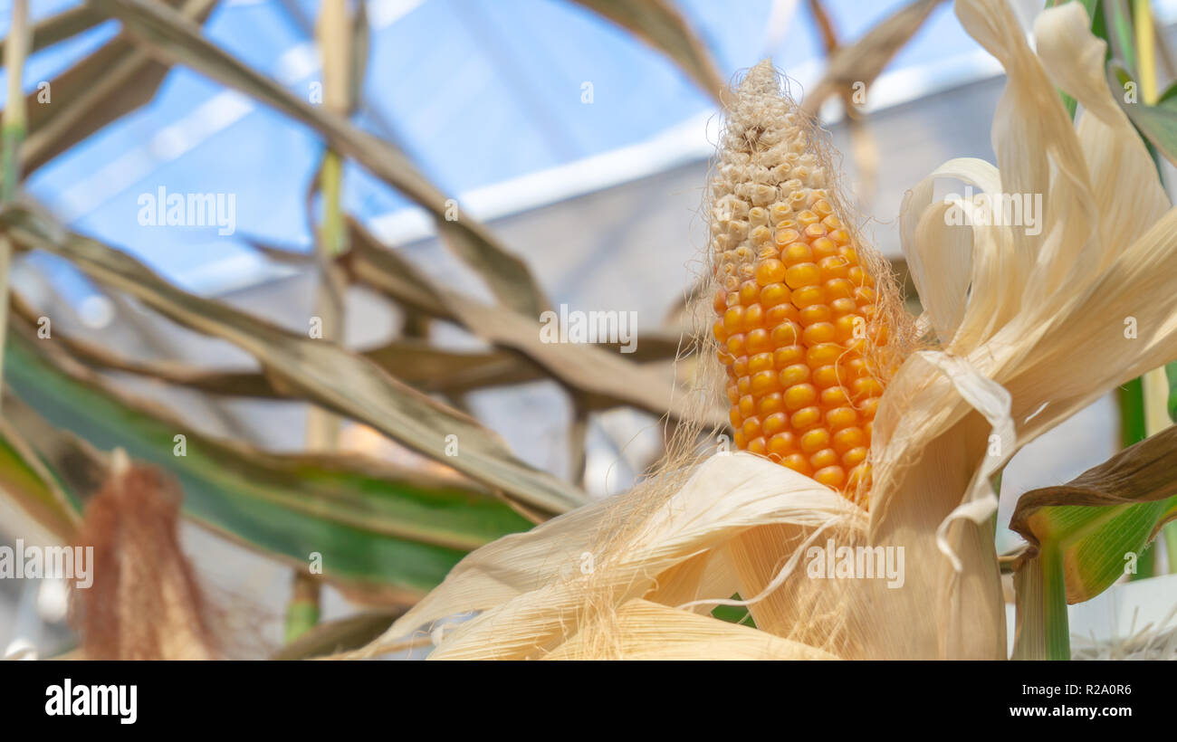A yellow corncob with dried white peelings, revealing the ripened corn plant ready to eat. Still growing on a stalk indoors. Shows greenhouse windows. Stock Photo