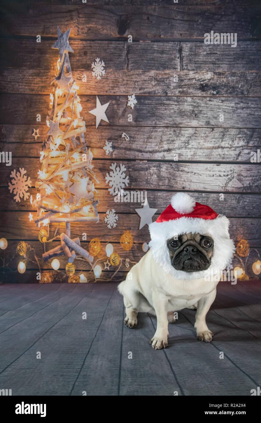 Pug against Christmas tree backdrop - Stock Image