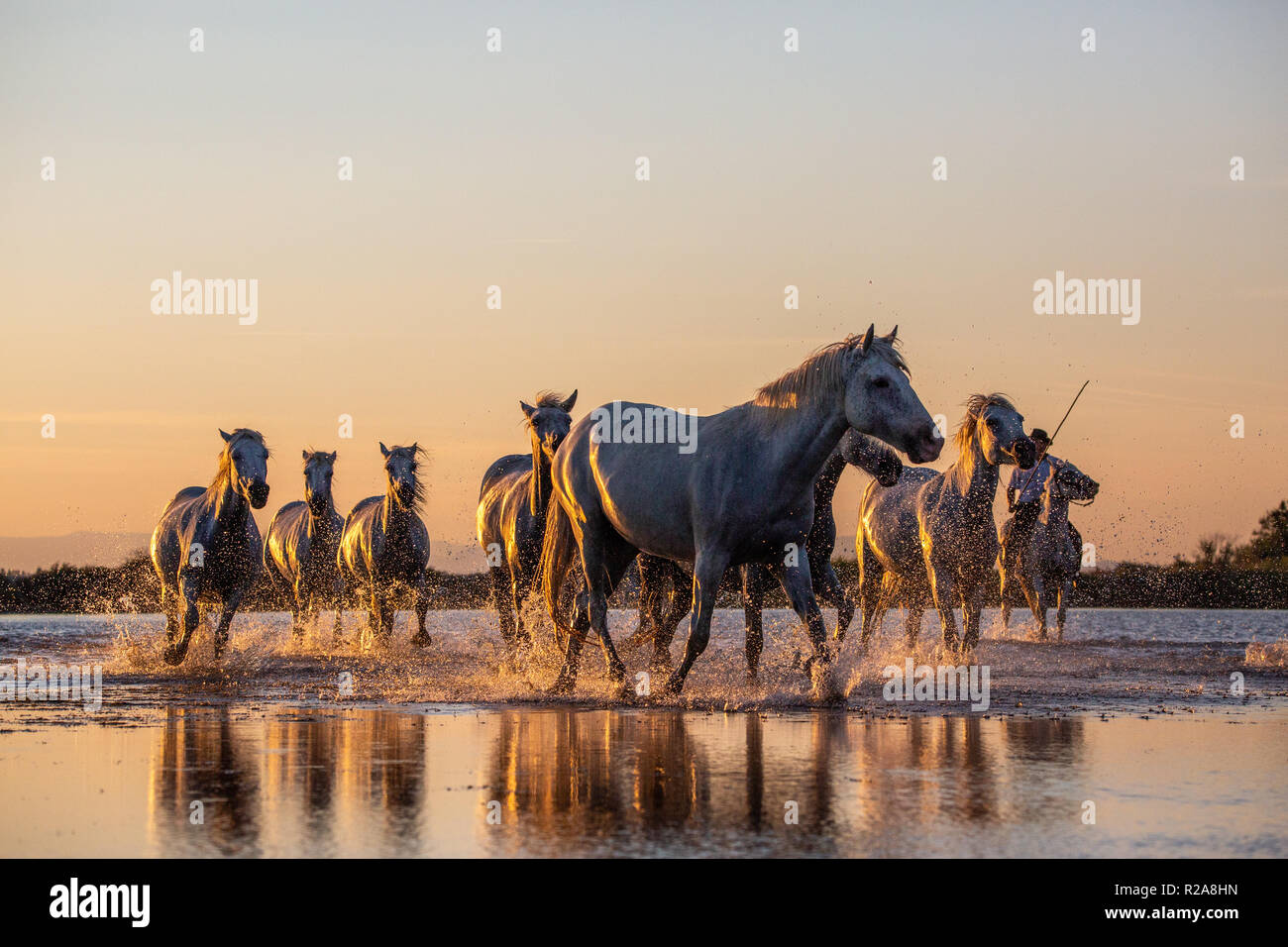 White Wild Horses Of Camargue Running At Sunset On Water Aigues Mortes Southern France Stock Photo Alamy