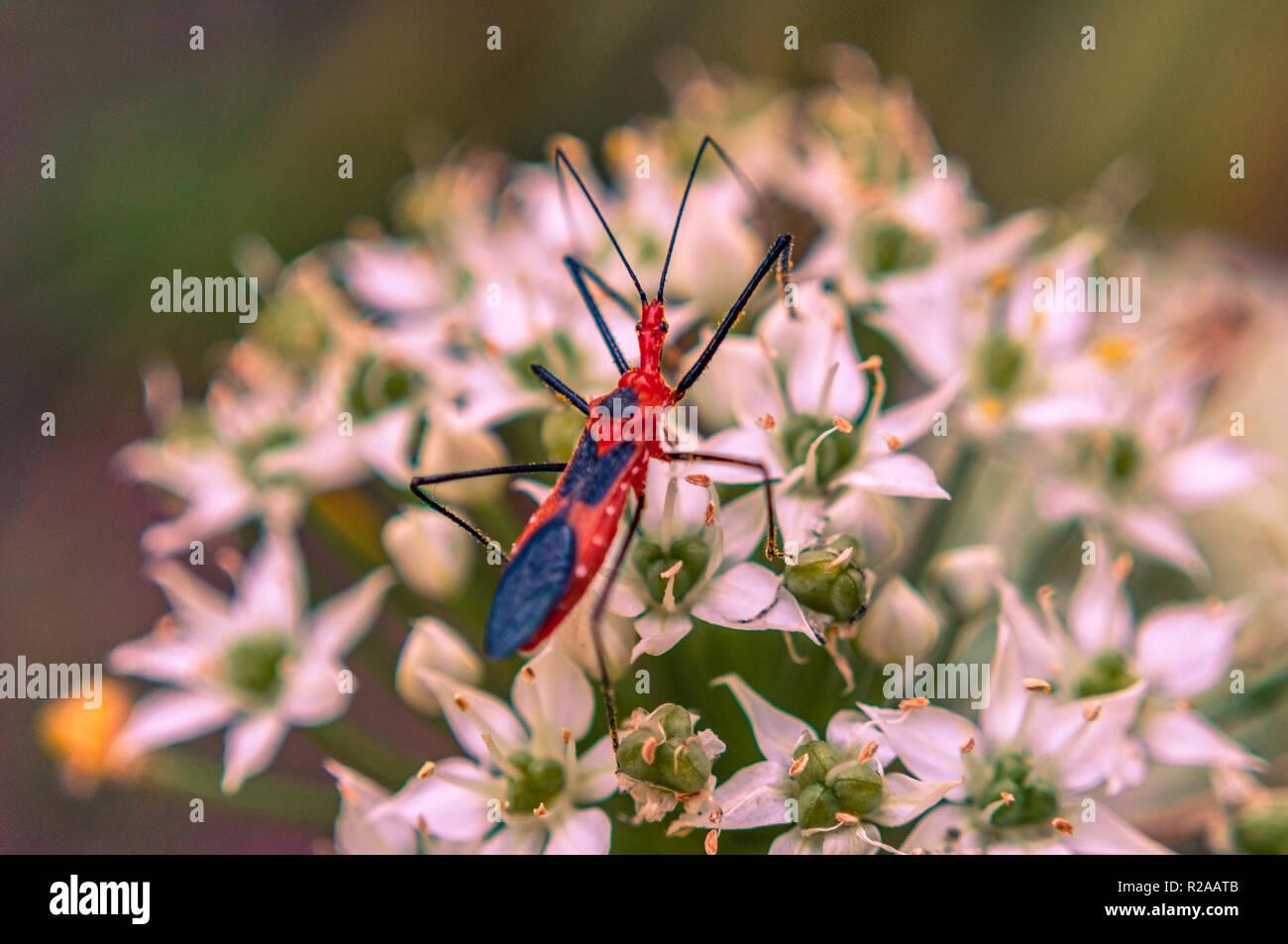 Wheel bug on white flower - Stock Image