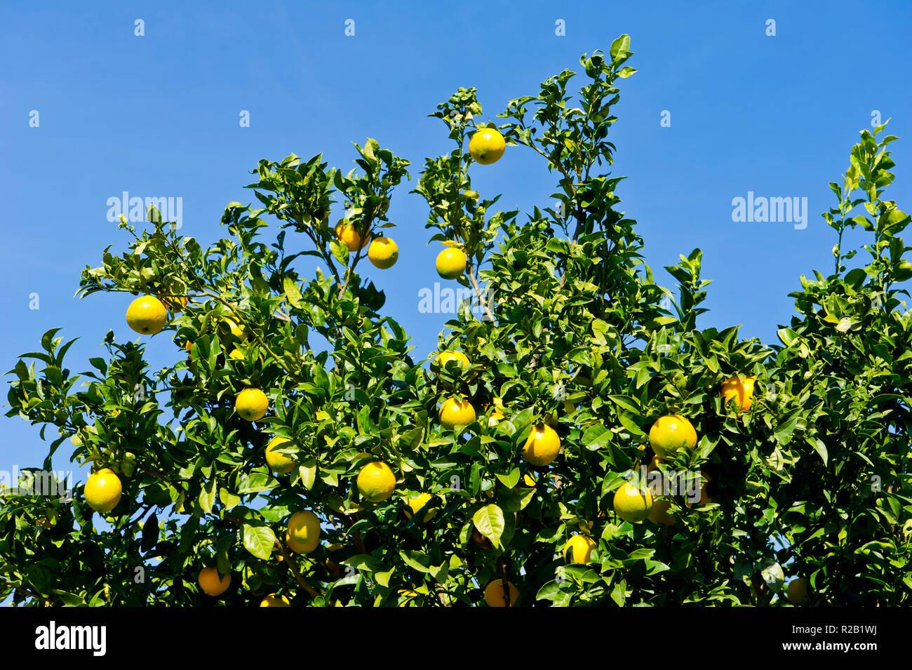 Lemon tree, near Alte, Algarve, Portugal - Stock Image