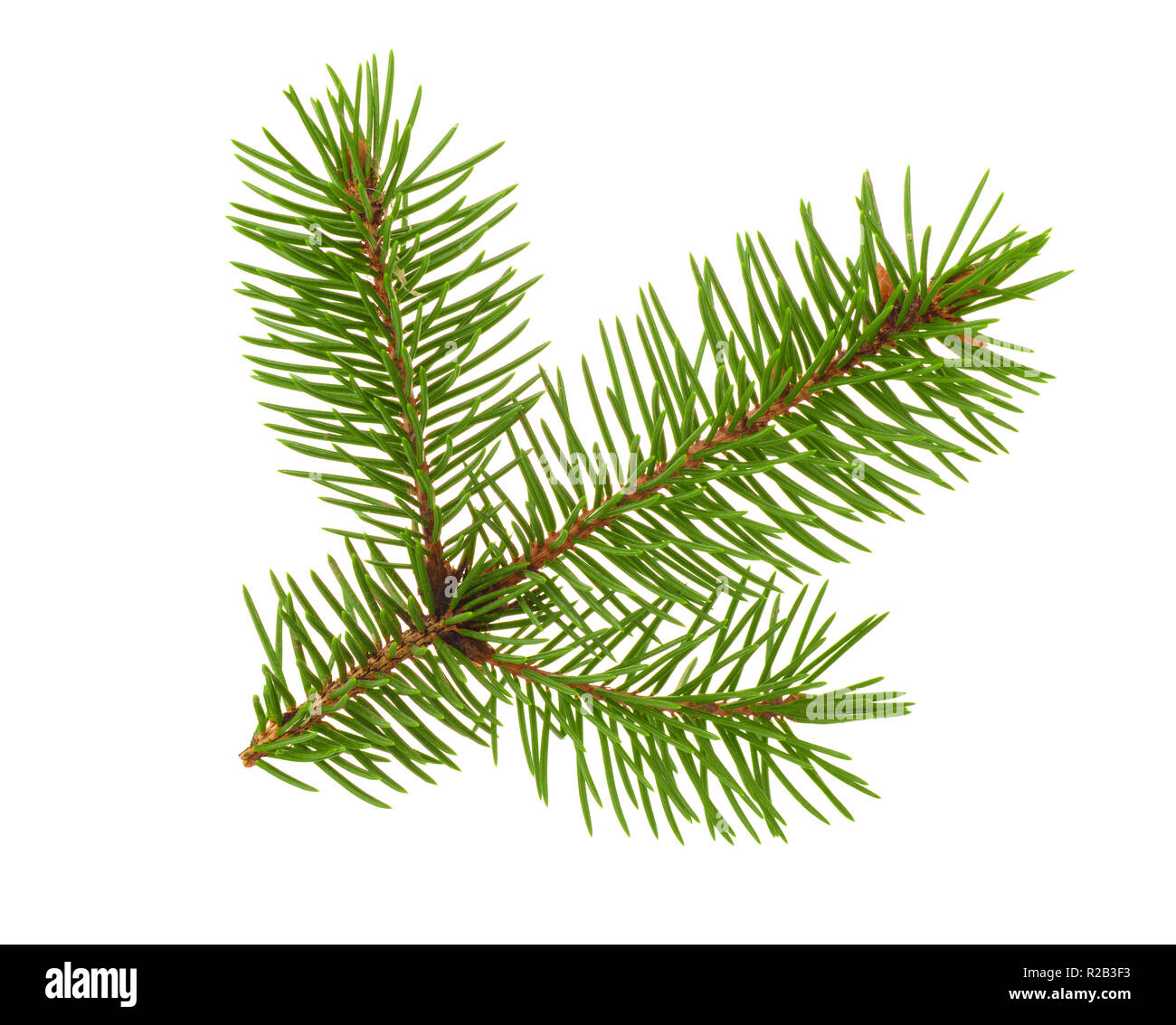 Fir tree twigh isolated on white - Stock Image