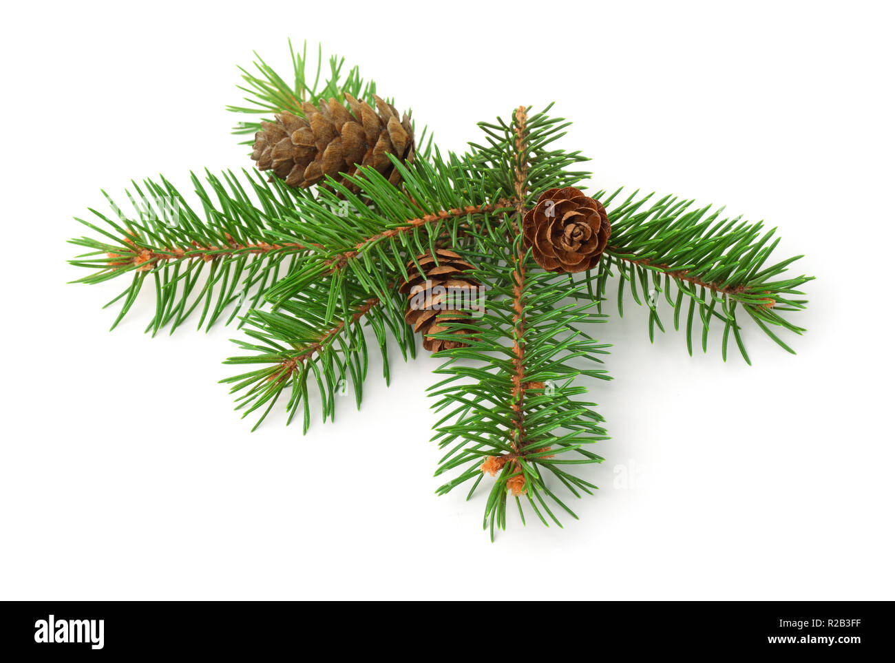 Green spruce branch with cones isolated on white - Stock Image