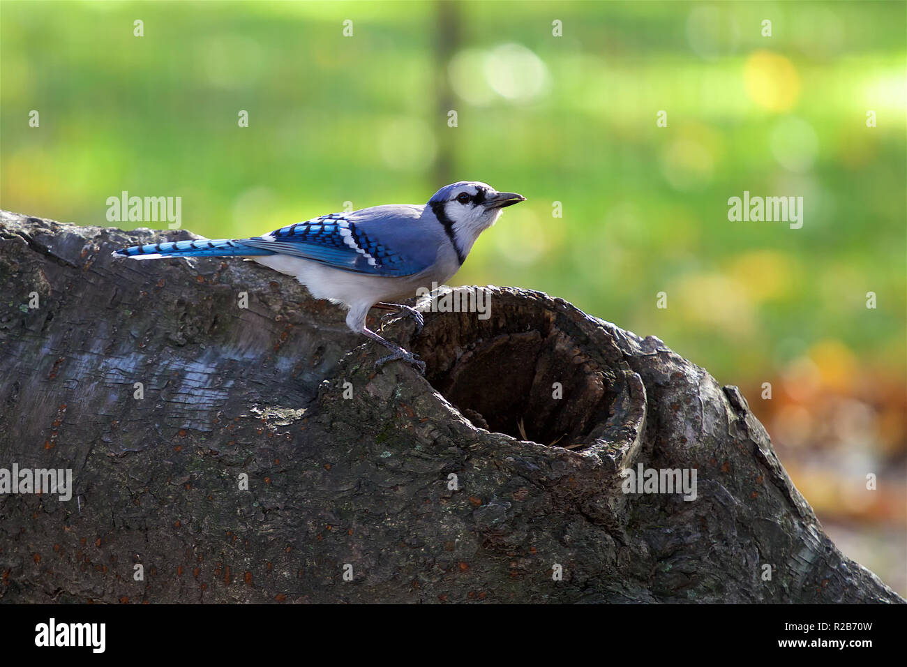 Blue Jay in Central Park NYC - Stock Image