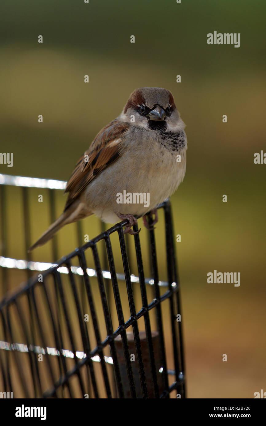 Whitehouse Sparrow - Stock Image