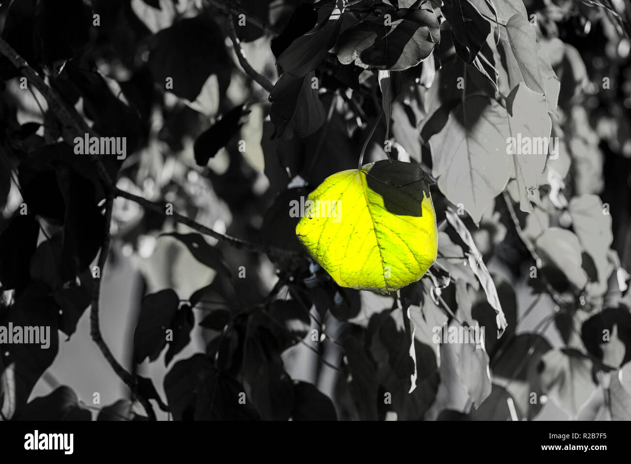 Photograph of a group of leaves with the use of selective color. - Stock Image
