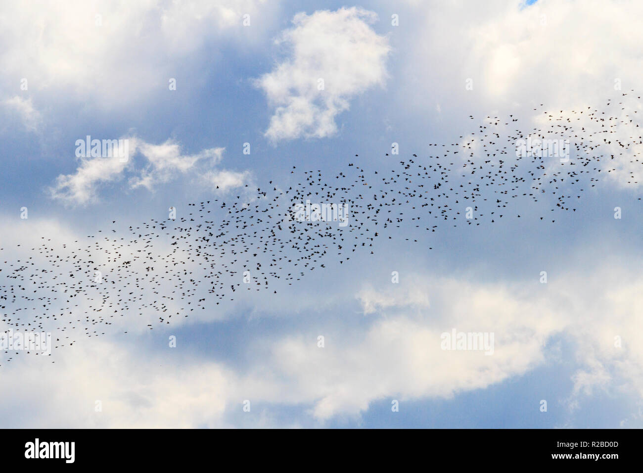 birds diagonally fly across the sky Stock Photo