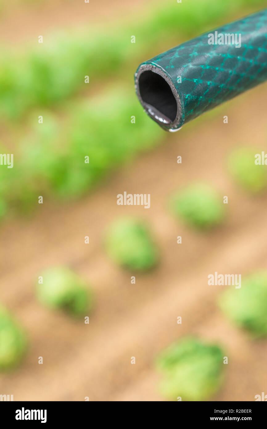 Braided PVC garden hosepipe against dry vegetable garden, veggie