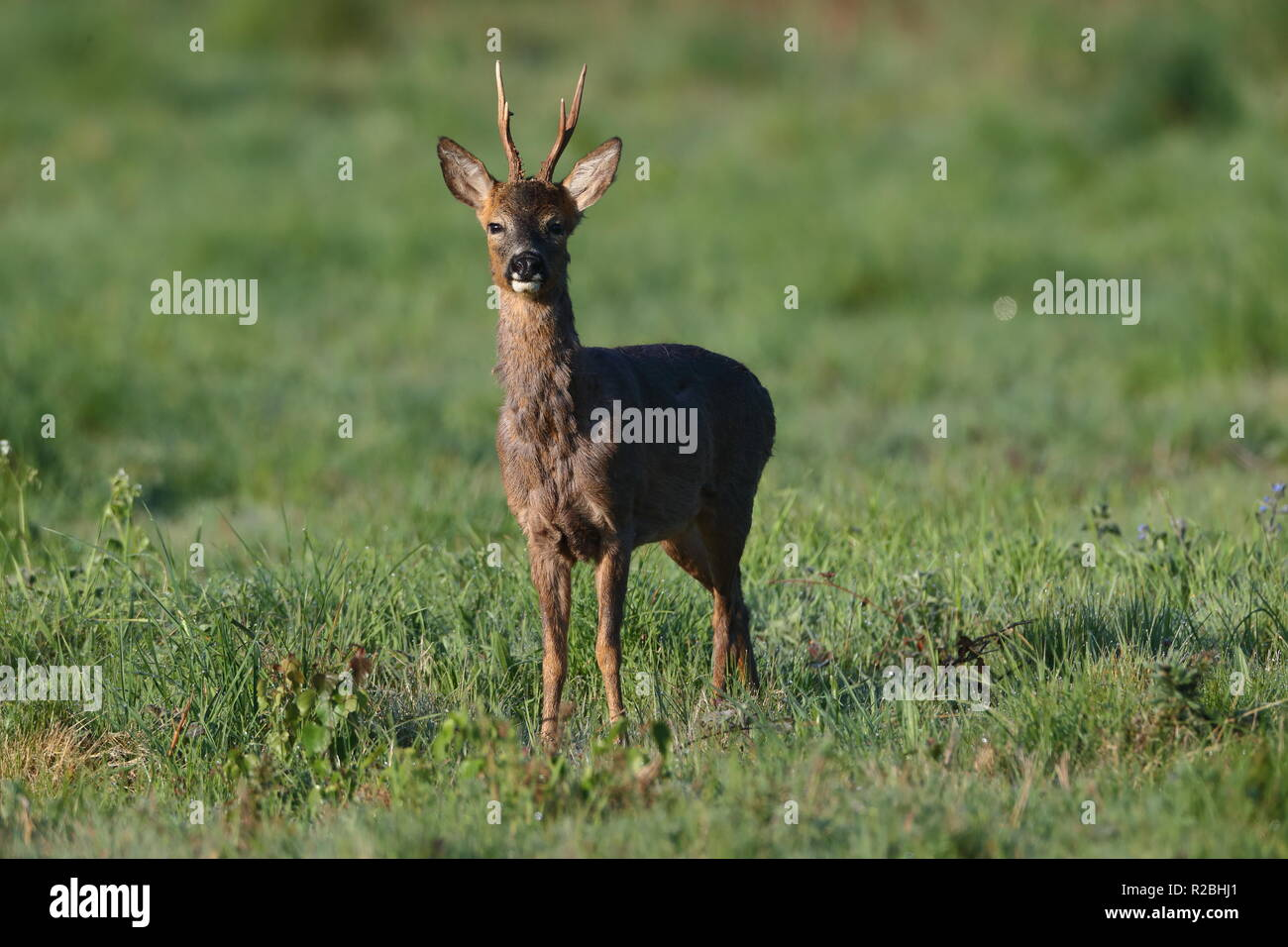Roe Deer - Stock Image