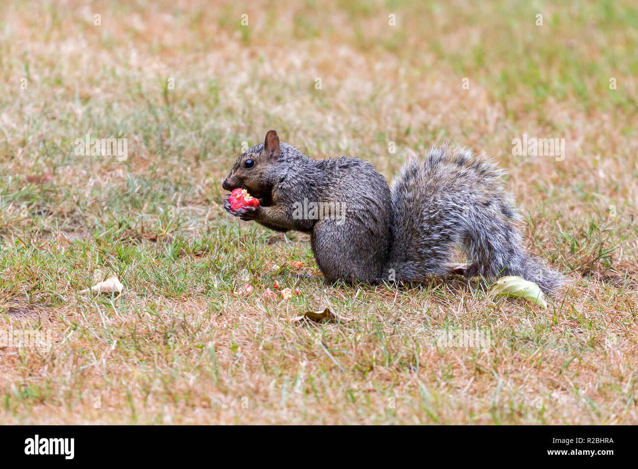 A dark phase Eastern grey squirrel eating on the ground in Stanley Park, Vancouver City, British Columbia, Canada - Stock Image