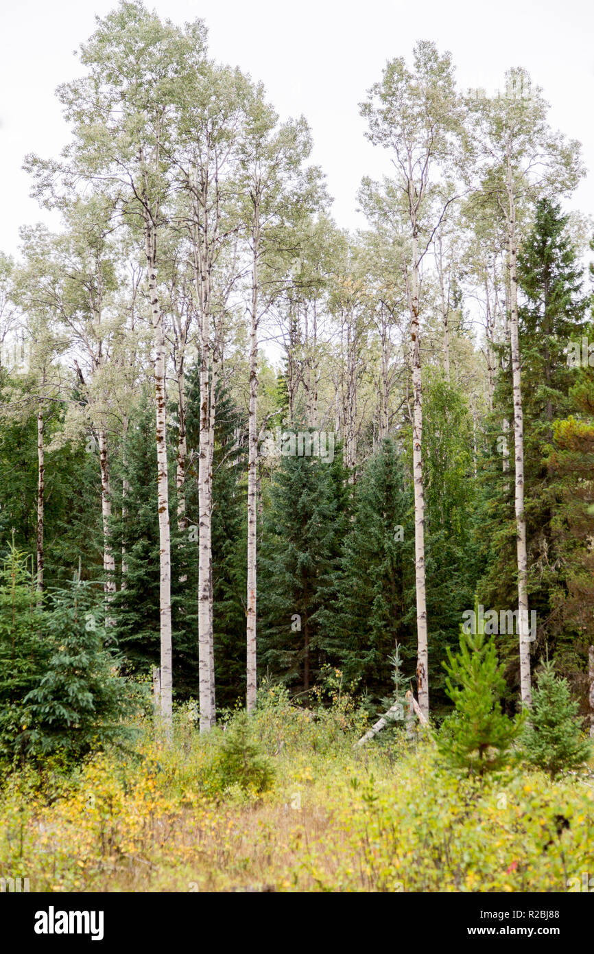 portrait format view of a group of deciduous trees, edge of woodland, Williams Lake area, Cariboo Mountains Park, British Columbia, Canada - Stock Image
