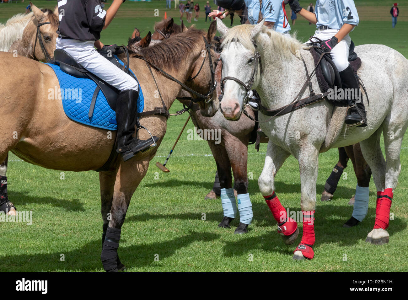 Waikii, Hawaii - Polo ponies before a match at the Mauna Kea Polo Club. The club plays Sunday afternoons on the slopes of the dormant volcano, Mauna K - Stock Image