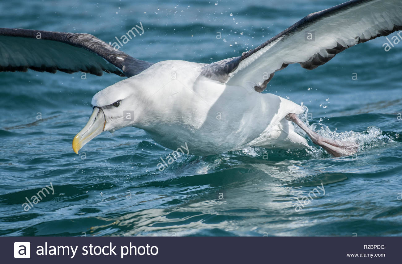 Buller albatross in Dunedin (New Zealand). - Stock Image