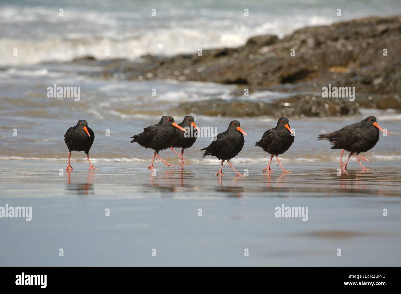 Variable oystercatchers in a line Stock Photo