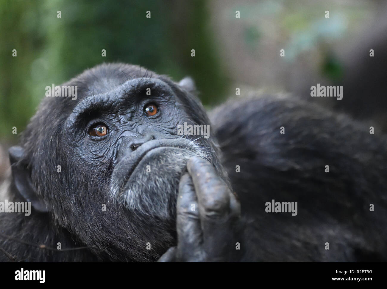 A dominant male Common chimpanzee (Pan troglodytes) relaxes after a morning's foraging.  Kibale Forest National Park, Uganda. Stock Photo