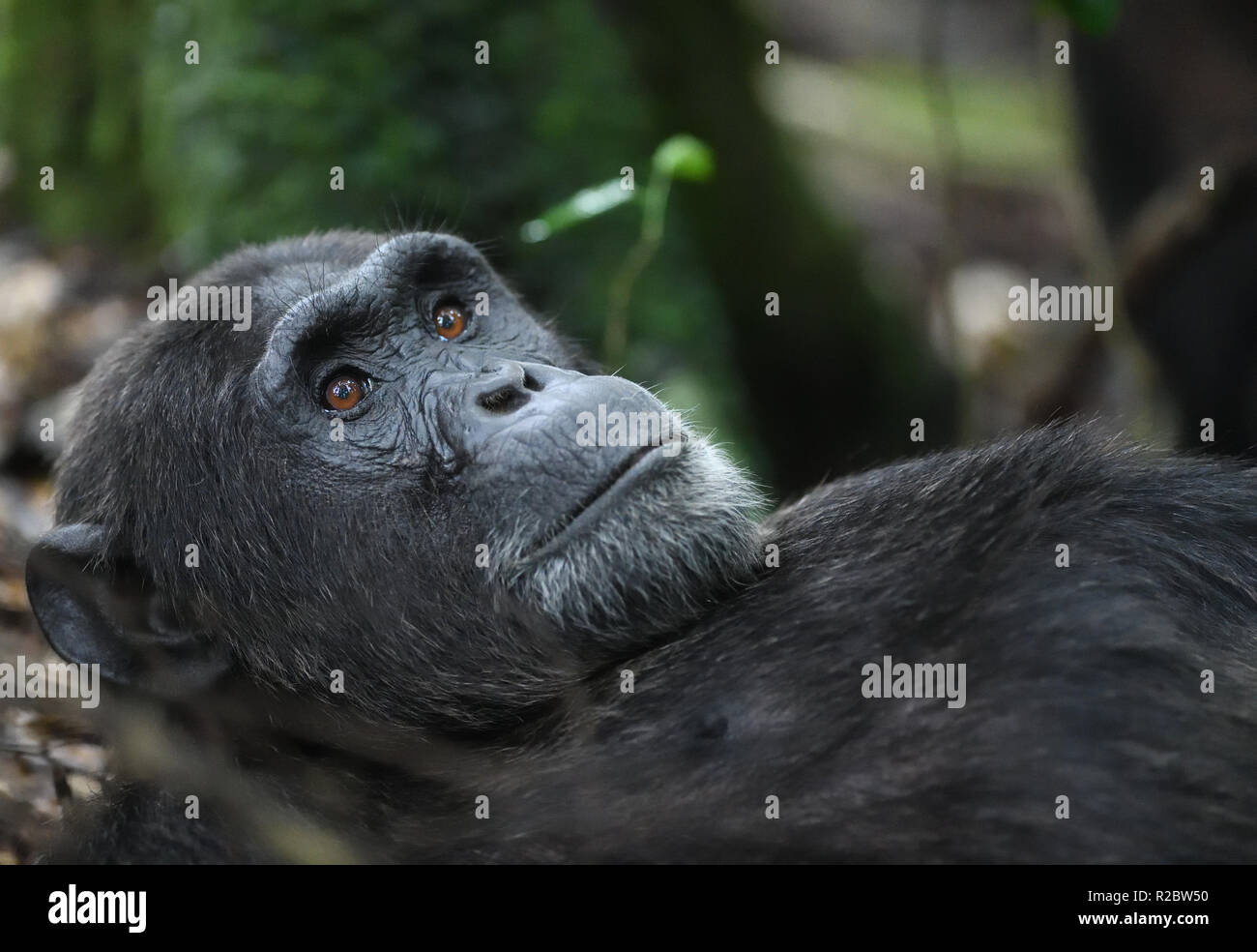 A dominant male Common chimpanzee (Pan troglodytes) relaxes after a morning's foraging.  Kibale Forest National Park, Uganda. - Stock Image