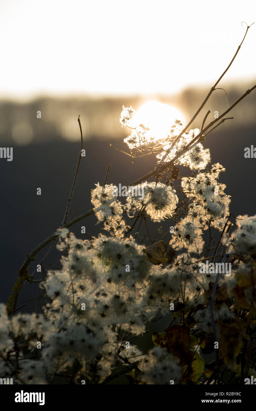 Traveller's Joy, also known as Old Man's Beard, Clematis vitalba, growing in hedgerows along the sides of the Dorset Trailway route in November as the - Stock Image
