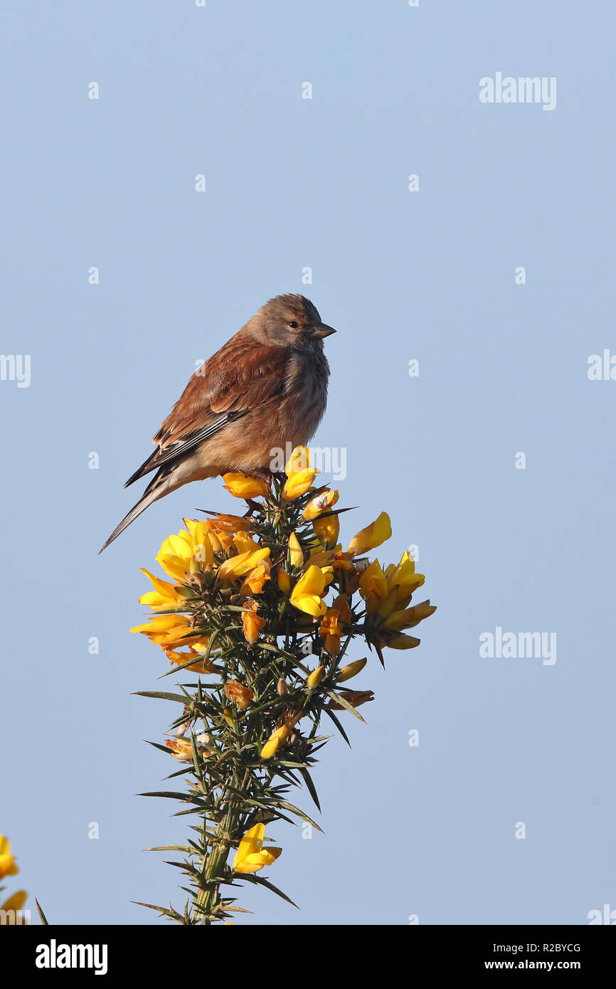 Adult Linnets - Stock Image