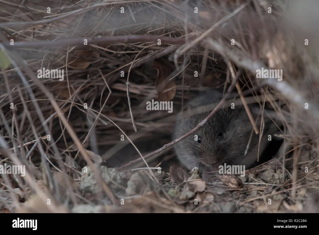 A california vole (Microtus californicus) hiding in the dry grass, this is the Bay area subspecies Microtus californicus californicus. - Stock Image