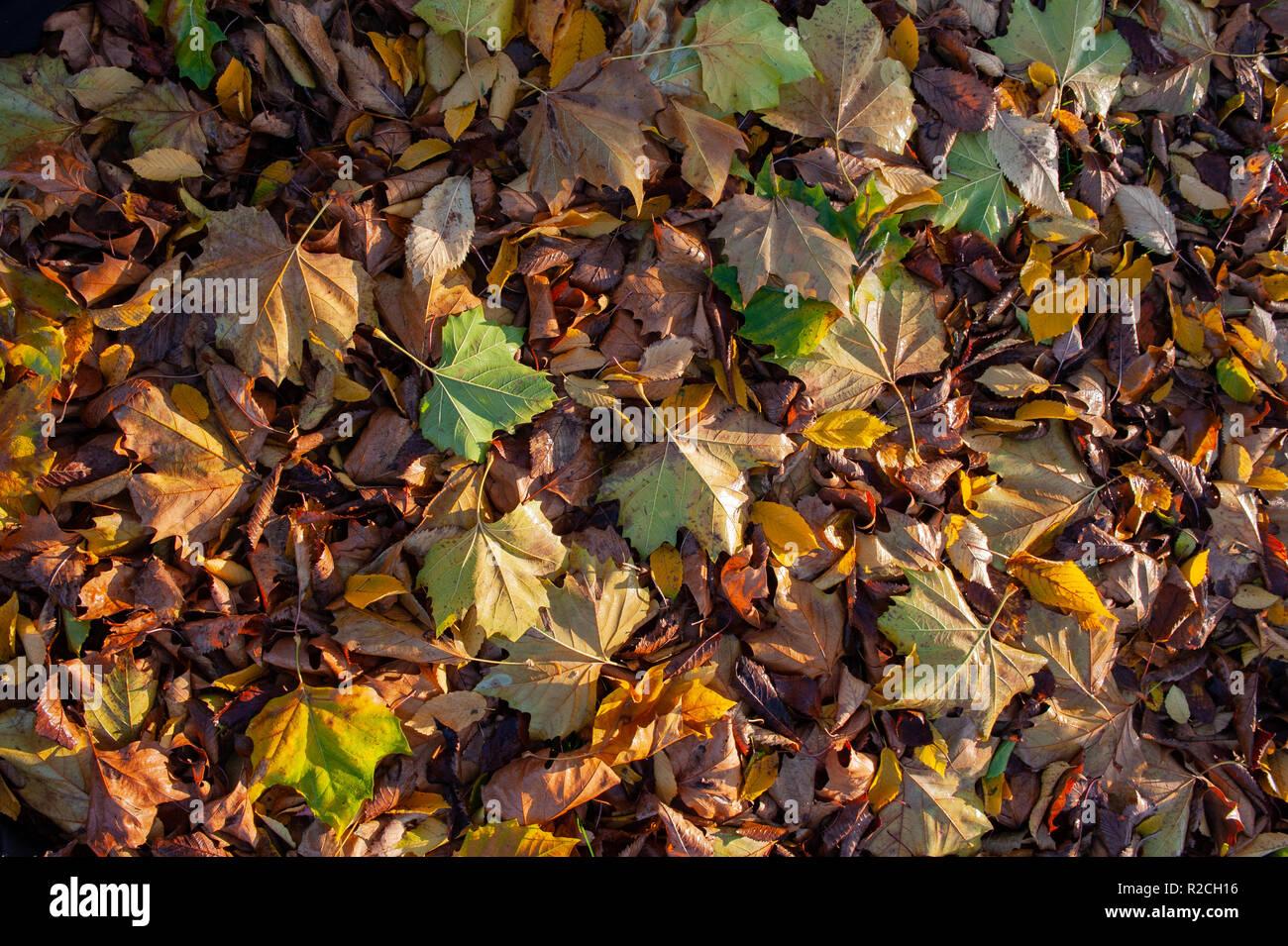 Autumn leaf carpet - Stock Image