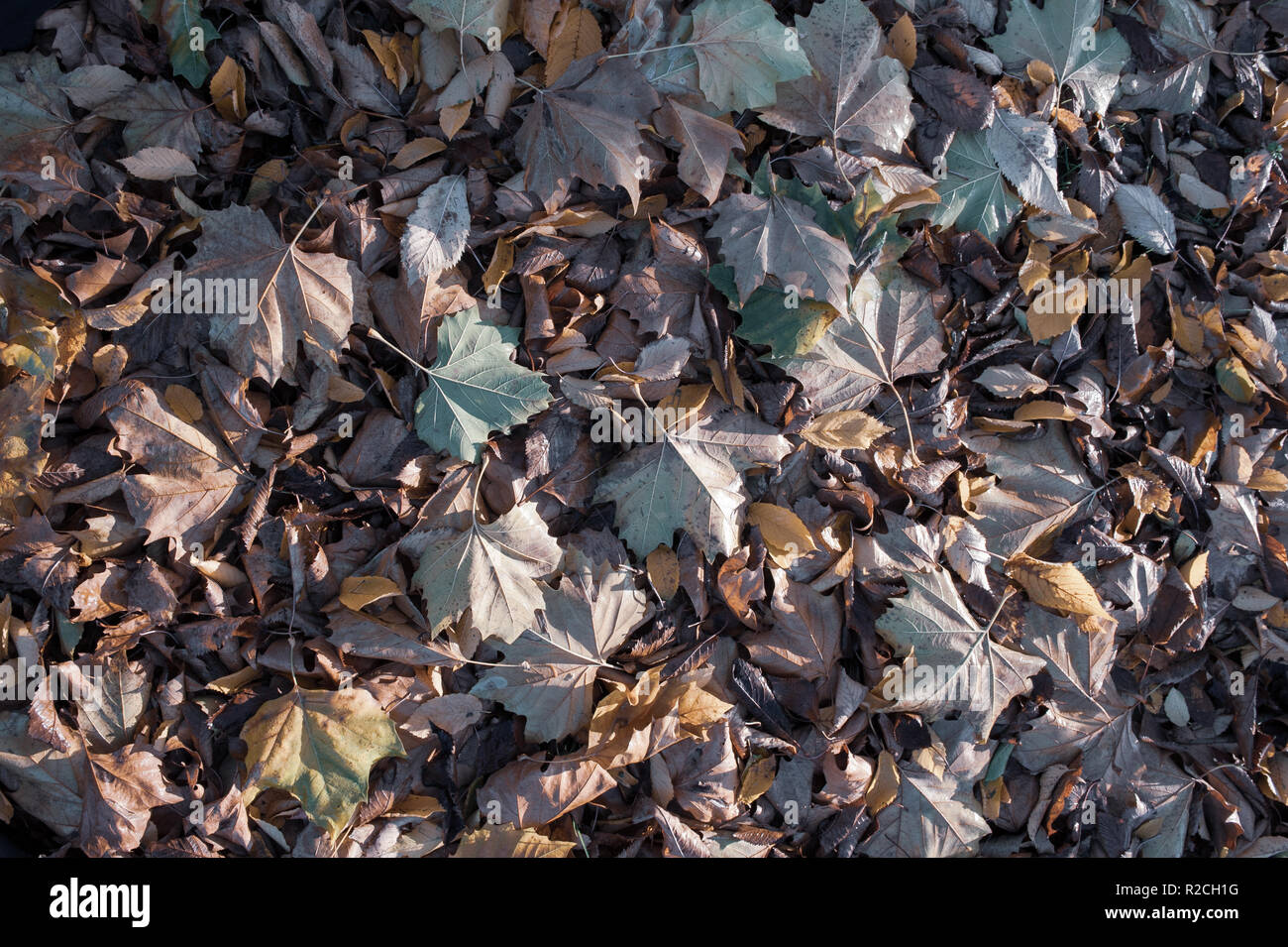 Autumn leaf carpet muted, neutral, - Stock Image