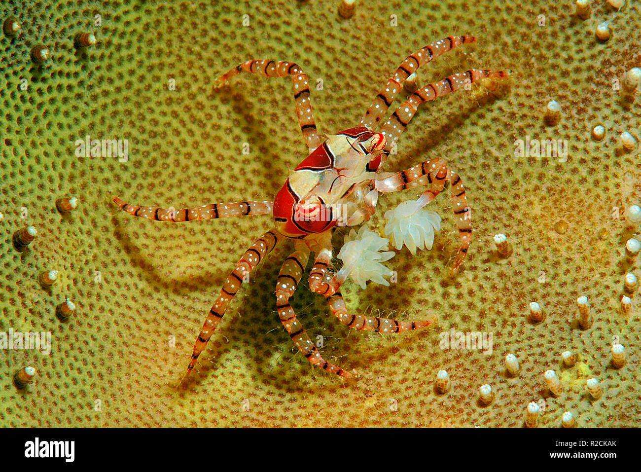 Boxer crab or Pom Pom Crab (Lybia tessellata) with eggs, is associated with anemones (Triactis sp.), Walindi, Papua Neu Guinea - Stock Image