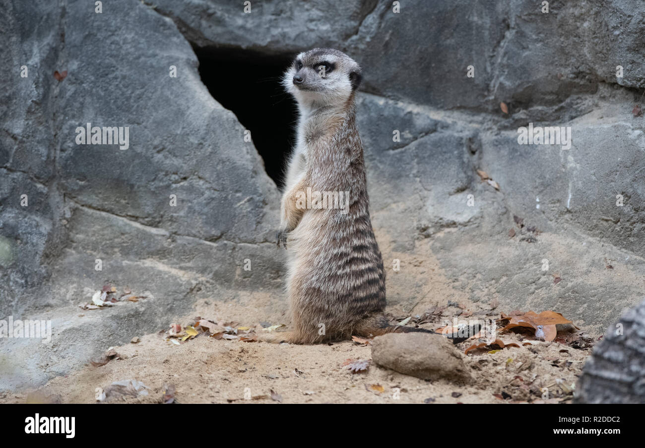 Berlin, Germany. 19th Nov, 2018. A meerkat stands guard in his enclosure in the zoo and looks for possible enemies. Credit: Paul Zinken/dpa/ZB/dpa/Alamy Live News - Stock Image