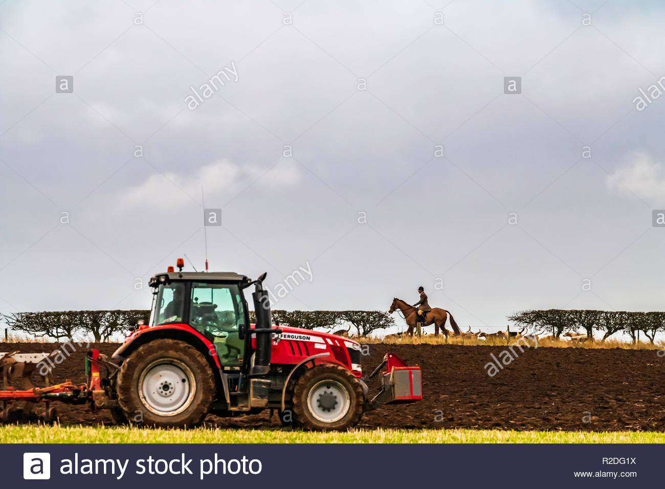 Smailholm, Kelso, Scottish Borders, UK. 19th November 2018. The Duke of Buccleuch foxhounds trot up a hedgerow as a farmer ploughs a field on an overcast day in the Borders. Credit: Chris Strickland / Alamy Live News Stock Photo