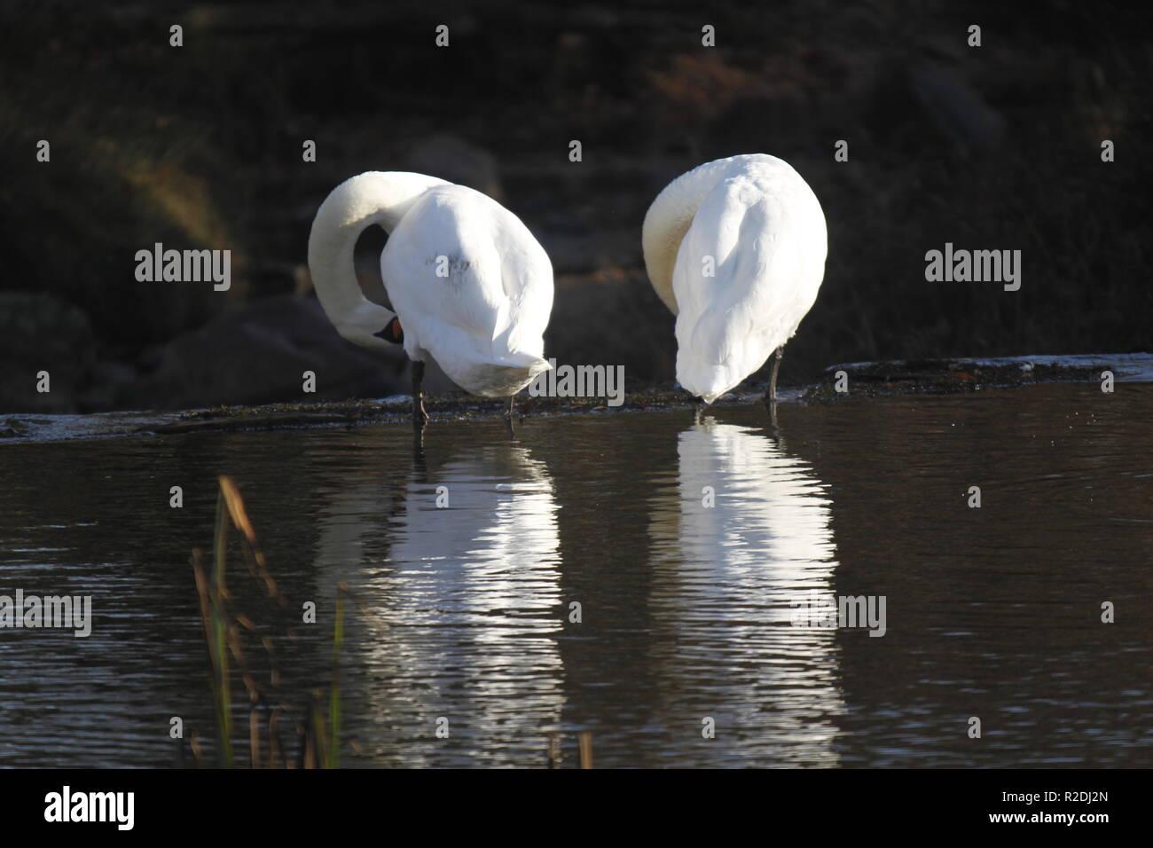 swans, birds, waterfowl, uk Stock Photo