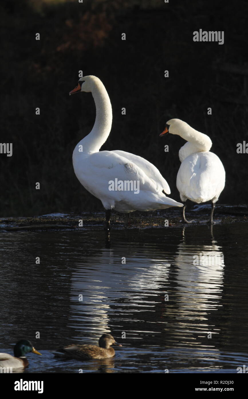 swans, birds, waterfowl, uk Stock Photo