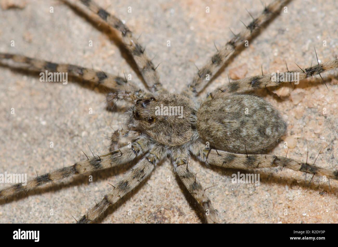 Thinlegged Wolf Spider, Pardosa sp. - Stock Image