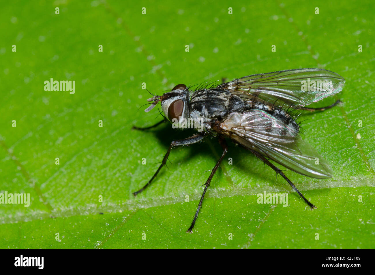 Tachinid Fly, Cryptomeigenia sp. Stock Photo
