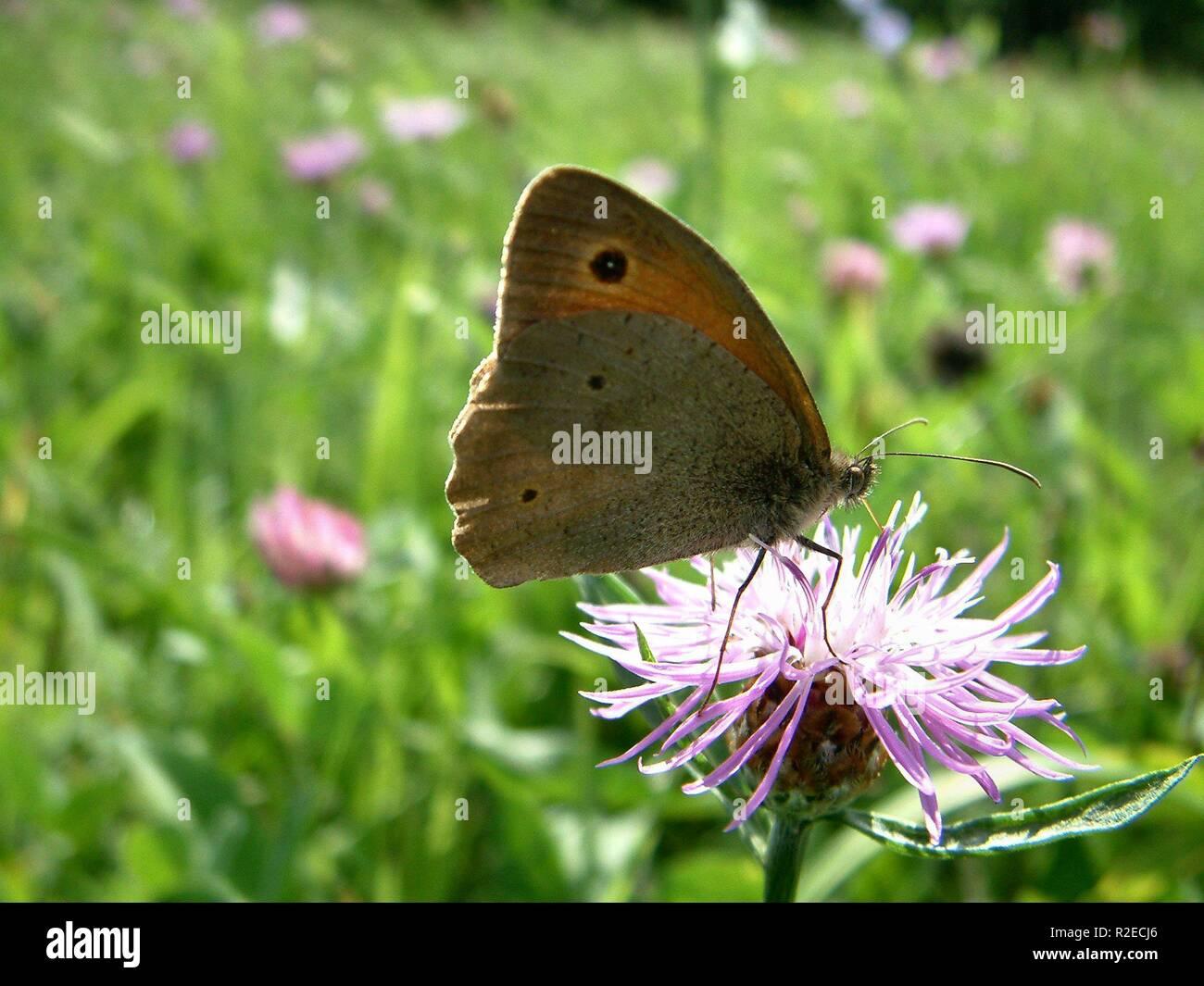 small heath - Stock Image