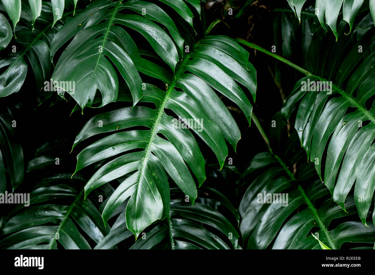 Tropical Deep Forest Leaves Jungle Leaves Green Plant Wet In Rainforest Stock Photo Alamy Are you searching for tropical leaves background images? https www alamy com tropical deep forest leaves jungle leaves green plant wet in rainforest image225282803 html