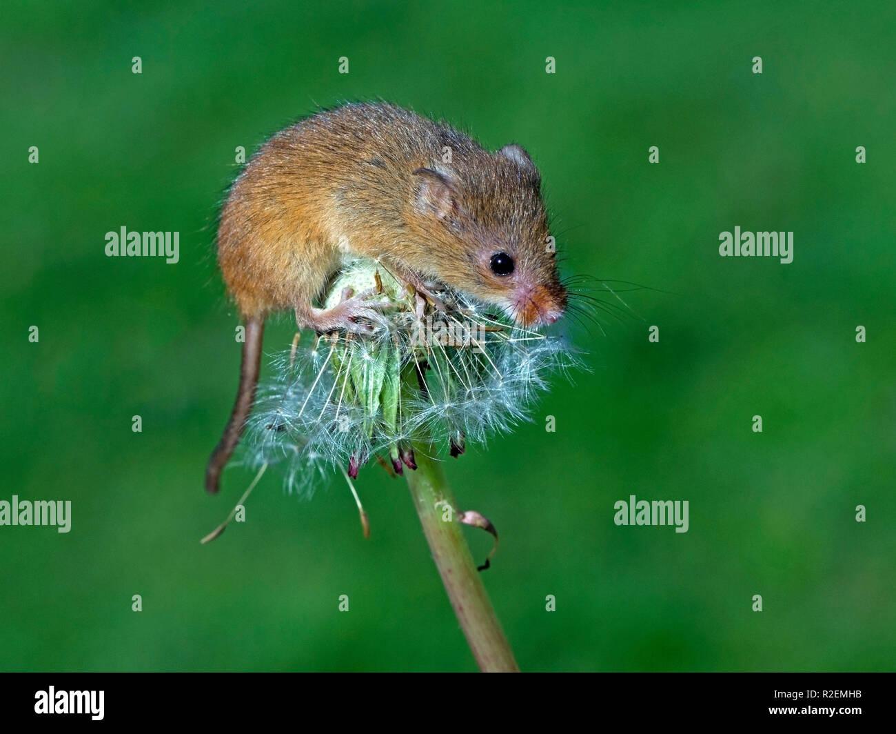 Eurasian harvest mouse on dandelion - Stock Image