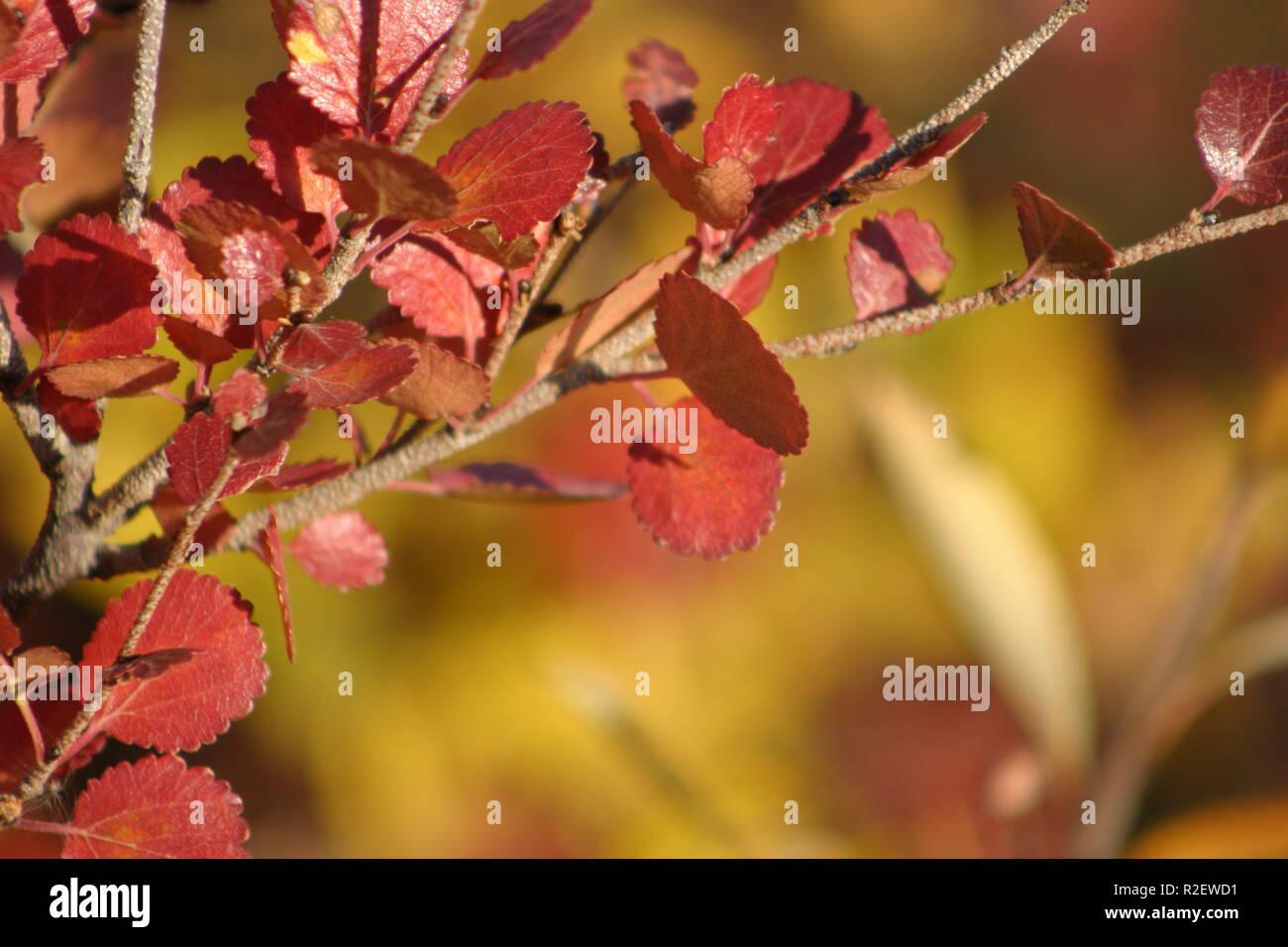 autumn colors in eagle plains yukon - Stock Image