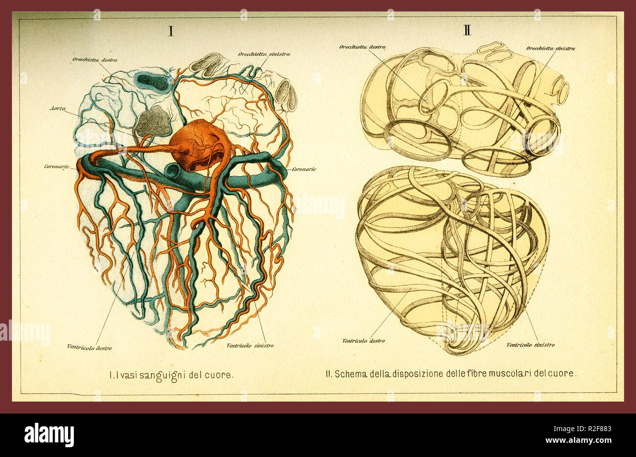 Vintage color table of anatomy, human heart muscular fibers and blood circulation with  anatomical descriptions in italian Stock Photo