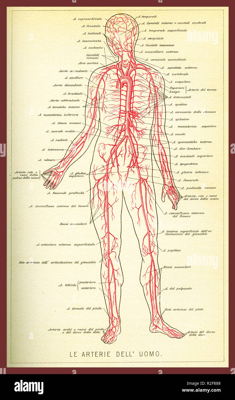 Vintage color table of anatomy, arteries and blood circulation with  anatomical descriptions in italian Stock Photo