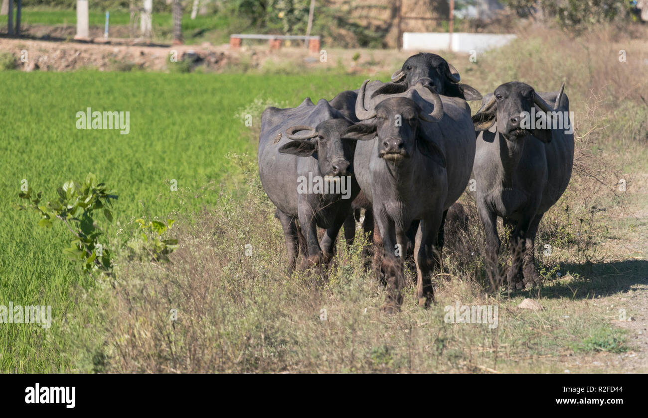 Buffalos are seen roaming in a field in sunny days - Stock Image