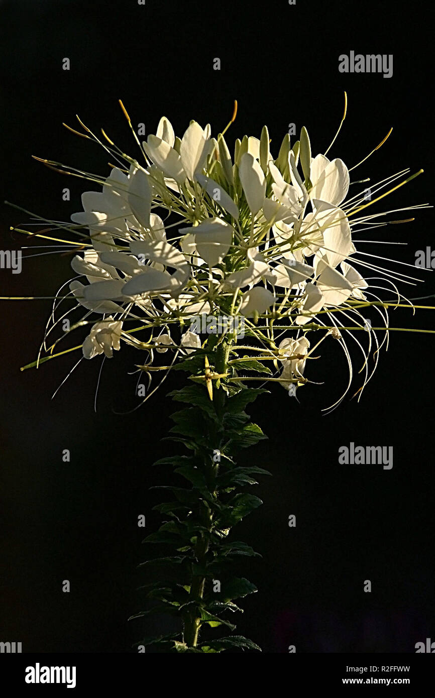 spider flower,white Stock Photo