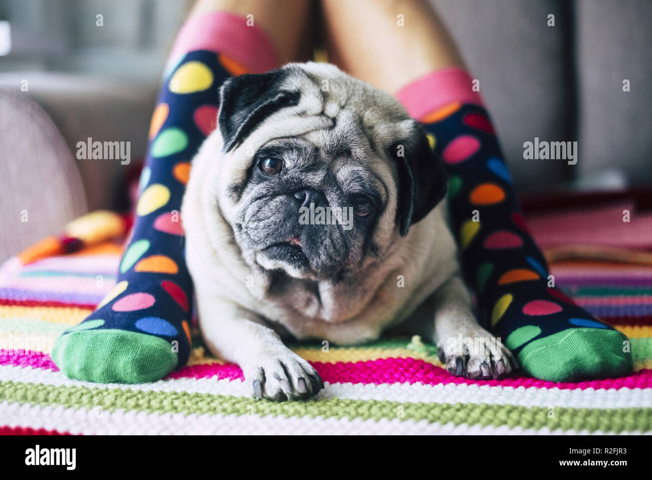 funny concept of friendship forever with happy young girl with crazy colored socks and creamy pug dog in the middle of her legs laying and looking curiously at the camera. protect and friends concept at home - Stock Image
