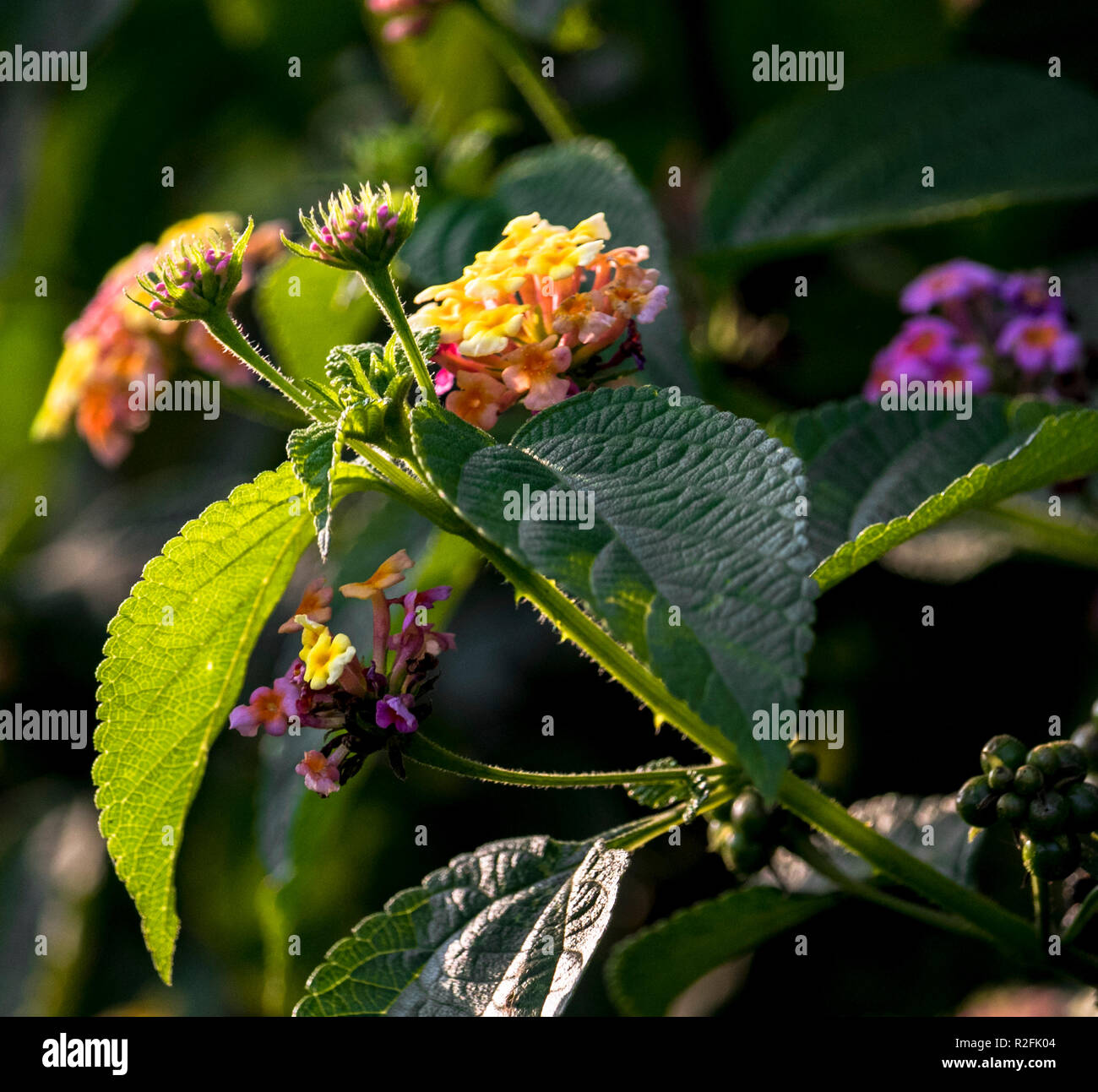 Flowers for greeting card.Naturally grown flowers in garden - Stock Image