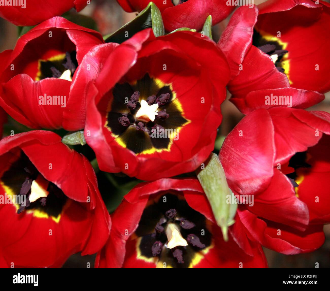sags through the tulip Stock Photo