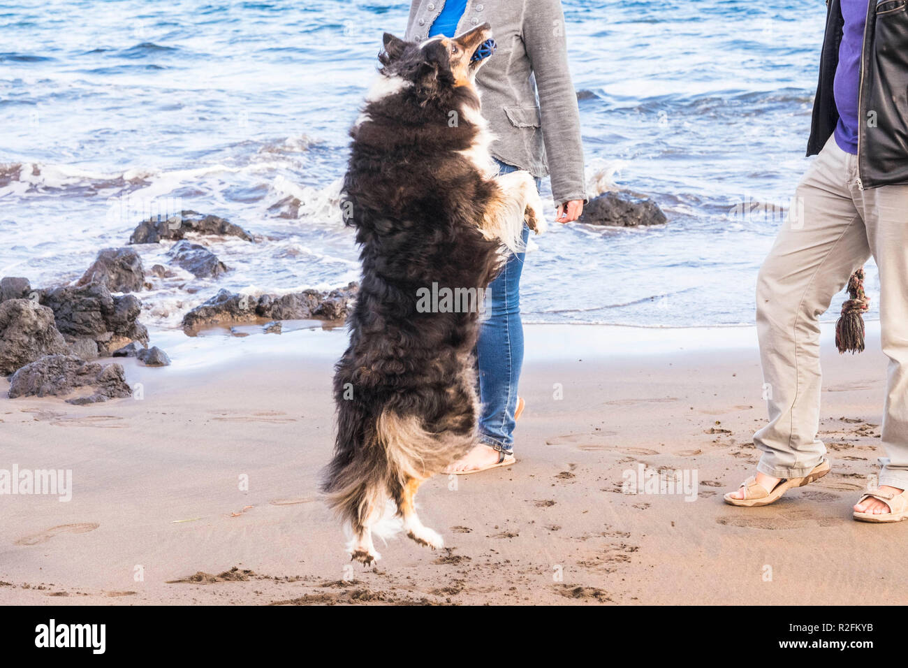 couple on the beach walking and dog border collie jumping playing with them for happiness leisure activity outdoor - Stock Image